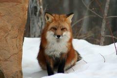 Piękny Czerwony Fox w śniegu Obraz Royalty Free