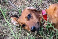 Piękny czerwony jamnika lying on the beach na plecy na haliźnie w lecie Portret łowiecki pies Zdjęcia Stock