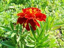 Piękny czerwony kwiat na greenery tle obraz royalty free