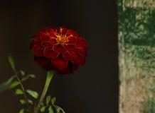 Piękny czerwony kwiatu lokaj na ciemnym tle w zmroku kluczu zdjęcie royalty free