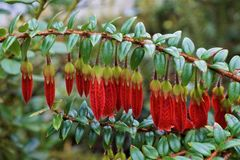 Piękny czerwony kwitnący Agapetes Serpens Obrazy Royalty Free