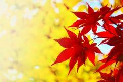 Piękny czerwony liścia klonowego tło fotografia royalty free