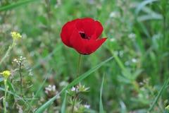 Piękny czerwony maczek po środku zielonej łąki fotografia stock