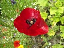Piękny czerwony maczek w słońcu Fotografia Royalty Free