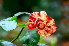 Piękny czerwony meteor róży kwiat Zdjęcia Stock