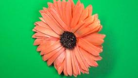 Piękny czerwony stokrotka kwiat wolno wiruje na płodozmiennym zielonym tle zbiory wideo