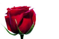 Piękny czerwony szkarłat róża Fotografia Stock