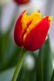piękny czerwony tulipan Flowerbackground, gardenflowers Ogrodowy kwiat pionowe tła abstrakcyjne Obraz Stock