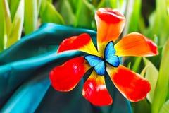 Piękny czerwony tulipan z błękitnym motylem zdjęcia royalty free