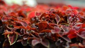 Piękny czerwony ulistnienie przed kamerą zbiory