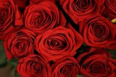 Piękny czerwonych róż zbliżenie z zielonymi liśćmi Zdjęcia Royalty Free