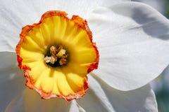 Piękny Daffodil zbliżenie - koloru żółtego i pomarańcze trąbka z Białymi płatkami Zdjęcie Stock