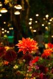 Piękny dalii rosea kwiat z światłem od lampy w nocy zdjęcia stock