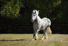 Piękny dapple popielatego końskiego bieg na polu Obrazy Royalty Free