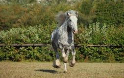 Piękny dapple popielatego końskiego bieg na polu Obrazy Stock