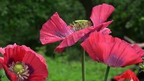Piękny dekoracyjny czerwony maczek w wiatrze zdjęcie wideo