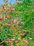 Piękny dekoracyjny drzewo z kędzierzawymi menchiami kwitnie z wielkimi płatkami przeciw tłu zielona roślinność Fotografia Royalty Free