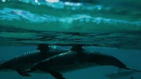 Piękny delfinu strąk Narusza przy Makua doliną zbiory