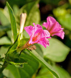 Piękny, delikatny Cztery Godzina kwiat Zdjęcie Royalty Free