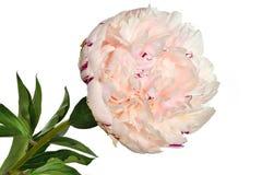 Piękny delikatny menchii peoni zakończenie up na białym tle obrazy royalty free
