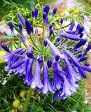 piękny deszcz Agapant jako flora fotografia stock