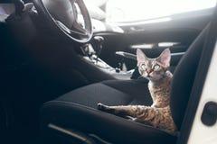 Piękny Devon Rex kot jest podróżny w samochodzie Kot jest czuć wygodny i spokojny Obrazy Royalty Free