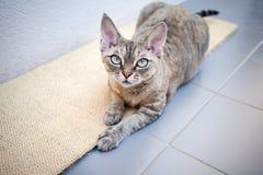 Piękny Devon rex kot kłaść na chrobotliwej desce Zdjęcia Royalty Free