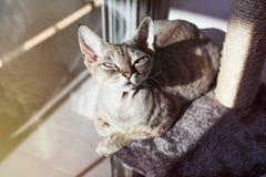 Piękny Devon Rex kot kłaść w dół na chrobotliwej poczta holu przestrzeni póżniej ma aktywność, przygotowywa pazury Fotografia Royalty Free