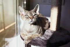 Piękny Devon Rex kot kłaść w dół na chrobotliwej poczta holu przestrzeni póżniej ma aktywność przygotowywa pazury i Zdjęcia Stock