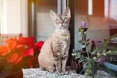 Piękny Devon Rex kot siedzi na ładnym balkonie Obrazy Royalty Free