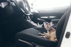 Piękny Devon Rex kot siedzi w samochodowym siedzeniu Kot jest czuć wygodny i spokojny Obrazy Royalty Free