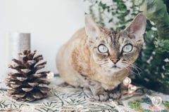 Piękny Devon rex kot w Bożenarodzeniowym wnętrzu Zdjęcia Stock