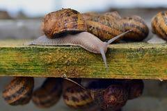 Piękny dorosły ślimaczka gospodarstwo rolne na drewnianej strukturze Fotografia Royalty Free