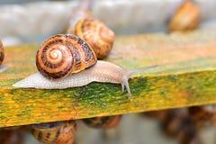 Piękny dorosły ślimaczka gospodarstwo rolne na drewnianej strukturze Fotografia Stock