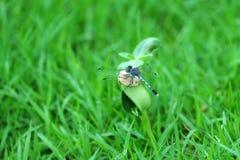 Piękny dragonfly na krótkopędzie Zdjęcie Royalty Free