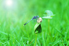 Piękny dragonfly na krótkopędzie Obraz Royalty Free