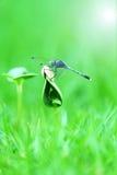 Piękny dragonfly na krótkopędzie Obrazy Royalty Free