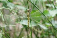 Piękny dragonfly na roślina trzonie Ukraina obrazy royalty free