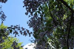 Piękny drzewo w lato kwiatach z zadziwiającymi lilymi kwiatami Kwiatu spojrzenie jak dzwony Zdjęcia Stock