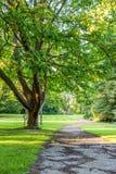 Piękny drzewo w zieleń parku z drogą przemian horyzontalną Obraz Stock
