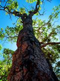 Piękny drzewo z bagażnikiem dostojnym zdjęcia stock