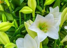 Piękny duży białej lelui kwiatu zakończenie Fotografia Stock