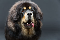 Piękny duży Tybetańskiego mastifa pies zdjęcie royalty free