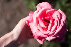 Piękny duży wzrastał w kobiety ` s ręce Obraz Royalty Free