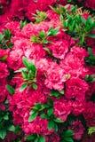 Piękny dywan różowi kwitnienie kwiaty Tekstura dla tapety lub sieci sztandaru Kwitnący azalii zakończenie up obraz royalty free