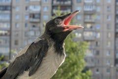 Piękny dziecko kruka obsiadanie na balkonowym poręczu z jego usta otwartym, pyta jeść i krzyczy głośno życzliwy uroczy ptak obraz royalty free