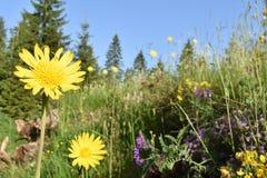 Piękny dziki żółty lato kwiat w kwiacie zdjęcia stock