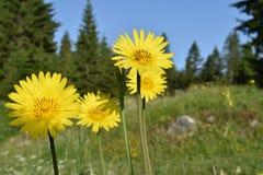 Piękny dziki żółty lato kwitnie w kwiacie fotografia royalty free