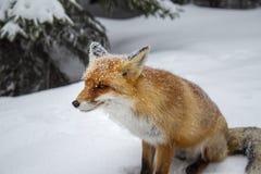Piękny dziki czerwony lis w śniegu w górach, zdjęcie stock