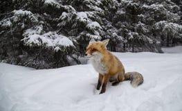 Piękny dziki czerwony lis w śniegu w górach, obrazy royalty free